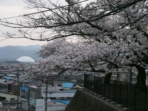 朝の石垣と桜