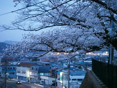 夕方の石垣と桜